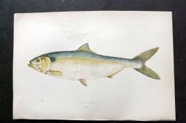 Couch 1877 Antique Fish Print. Allis Shad 204